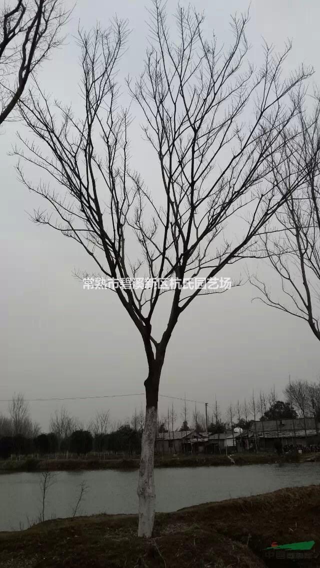 江苏地区供应3~50公分朴树