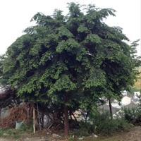 浙江南方红豆杉价格 红豆杉小苗 红豆杉走势 精品红豆杉