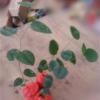 印度檀香紫檀 小叶紫檀苗 种子