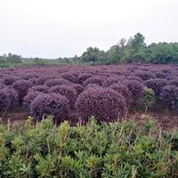 肥西志立苗圃大型红花继木球基地、80-200冠低价供应