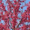 中国红樱花产品信息