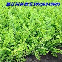 耐寒金叶水腊苗 金叶水腊50公分高 金叶水腊绿篱苗
