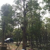 大量低价供应秋枫重阳木