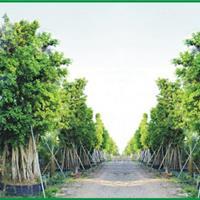 大量出售大规格小叶榕  大叶榕 高山榕等大规格苗木