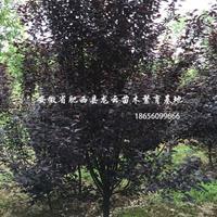 安徽合肥紅葉李、大葉女貞、三角楓、烏桕、欏木石楠、紅葉石楠