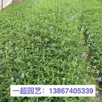 蓝花鼠尾草、兰花鼠尾草、麻叶鼠尾草、大叶鼠尾草、一串兰等
