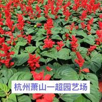一串红 一串红盆栽 一串红小杯苗 一串红大杯 一串红基地