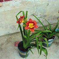 花卉(萱草、鸢尾、玉簪、宿根花卉种子)种子催芽的方法