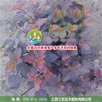 江西三农-富有前景的红叶新品种-紫叶风箱果 供应风箱果苗