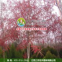 江西三农-彩叶行道树新星-柳栎 出售柳栎小苗 柳栎小苗价格