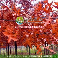 江西三农-彩叶行道树新星-沼生栎 出售沼生栎小苗 供应栎树苗