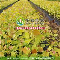 江西三农-美化城市的理想树种-欧洲金叶杨 批发金叶杨小苗