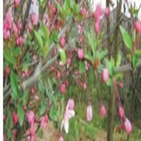 供应地径2--4公分红梅,垂丝海棠 ,西府海棠,价廉质优。