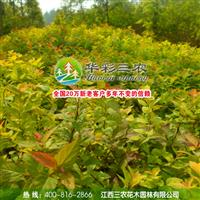 江西三农-观赏价格极高的树种-金叶风箱果 出售金叶风箱果苗