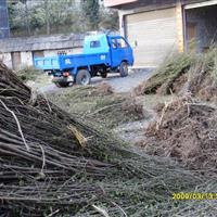 桤木种张家界宏茂生态种苗有限公司供应2016年