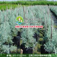 江西三农-潜力极高的观赏树种-蓝冰柏 出售蓝冰柏小苗