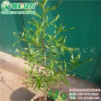 柳栎 正宗柳栎苗价格 柳栎图片 正宗优质柳栎小苗供应包成活