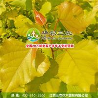 江西三农-优秀城市绿化树种-欧洲金叶杨 供应欧洲金叶杨小苗
