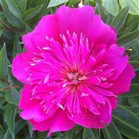 蓝菊芍药 阳台盆栽花卉种子 翠菊花种子 蓝菊 厂家直销