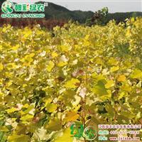 欧洲金叶杨 高档杨树 江西金叶杨树苗生产基地 正宗优质杨树苗