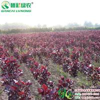 江西全红杨树苗基地 正宗四季红杨树苗供应 正宗杨树小苗基地