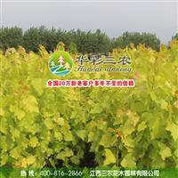 园林绿化彩叶树种-欧洲金叶杨 供应金叶杨苗 批发金叶杨苗