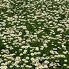 山东白晶菊,百日草品种,羽衣甘蓝种植基地,月季批发市场