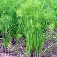 湿地种植细叶水莎草 纸莎草 园林景观专用池塘种植绿化