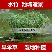 江苏供应低价格旱伞草苗 水竹 风车草湿地种植池塘绿化造景