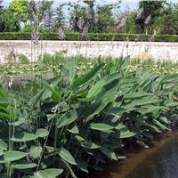 2016年再力花植物,水生绿化植物,水竹芋水莲