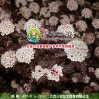 优秀的彩叶观赏植物-紫叶风箱果 出售风箱果苗 批发风箱果苗