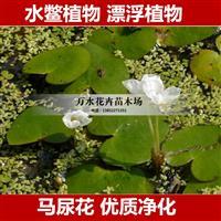 漂浮植物,水鳖,撒尿花,水浮萍,净化水质开花植物