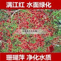 漂浮植物满江红珊瑚萍水面绿化鱼缸绿化净化水质吸硝酸钾