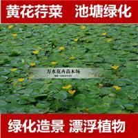 优质水生植物黄花荇菜,莼菜,浮萍植物