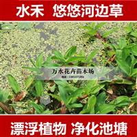 水面植物,水禾,浮萍植物 净化水质 污水处理