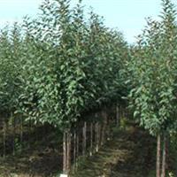北海道黄杨树,红叶石楠柱子、金边黄杨、水杉基地价格