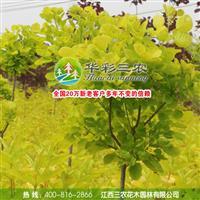 用途广阔的彩叶树种-金叶黄栌 出售金叶黄栌 批发金叶黄栌小苗