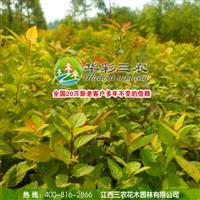 庭院彩叶观赏树种-金叶风箱果 出售风箱果苗 批发风箱果苗