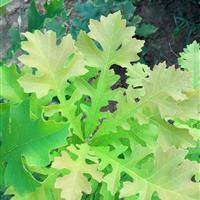 北美红栎(鲜红栎/沈氏栎/红栎/娜塔栎/针栎/白栎/大果栎)