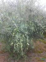 油橄榄图片~价格~报价供应图片