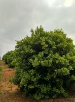 江西丛生40公分以下分枝杨梅,杨梅球,冠2-5米2