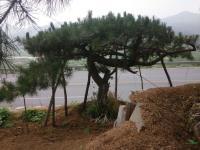 山东造型松油松黑松12最新报价/造型松油松黑松12图片