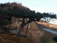 山东造型松油松黑松18最新报价/造型松油松黑松18图片