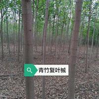 供应鄢陵青竹复叶槭3-12公分