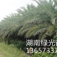 海枣,棕榈