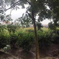 浙江供应大量红叶石楠球,红叶石楠,高杆石楠