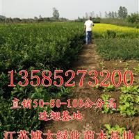江苏连翘价格80公分连翘价格-1米高连翘价格2-3分枝连翘价