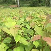 湖北五峰瀚林供应2年生高0.5-1米山桐子苗