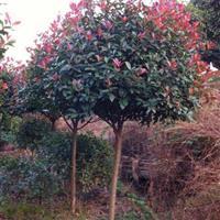 湖南地区造型红继木古桩,红叶石楠。