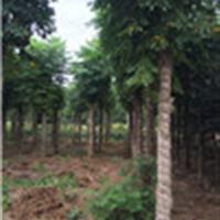 栾树价格、特供湖南黄山栾树价格、10-15公分栾树大量销售